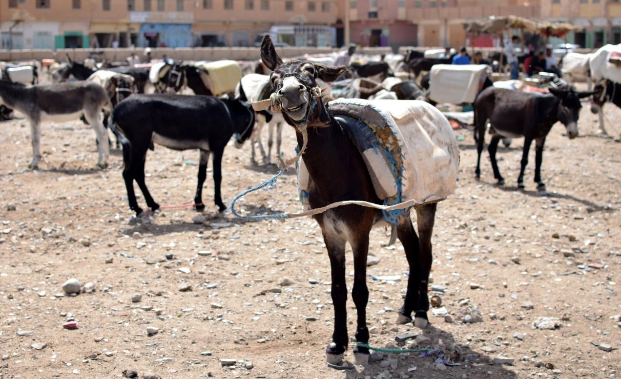 Esel der den Kopf schüttelt mit Decke und Zaumzeug auf einer Brachfläche am Markt in Rissani, Marokko
