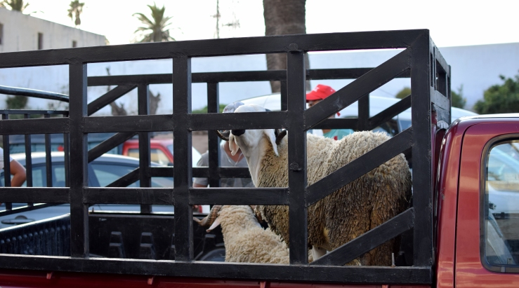 Schafe Rabat Marokko Aid